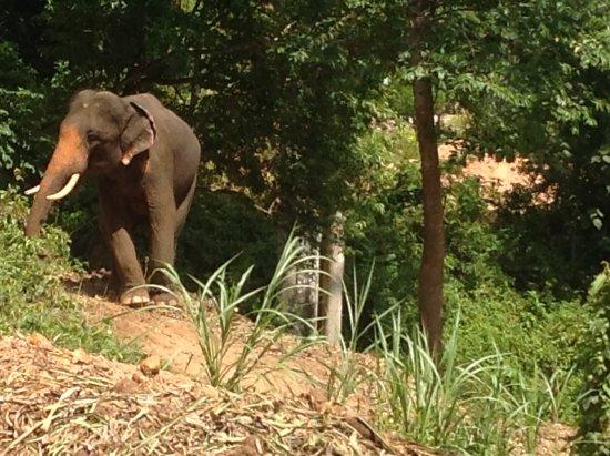 เกาะช้าง ซาฟารี เอเลเฟนแทรคกิ่ง: Lots of elephants around, we saw at least 15