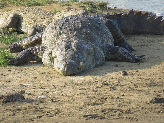 Tissamaharama, Sri Lanka: Crocodile