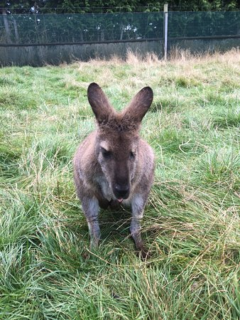Waimate, Nya Zeeland: Think this was April, the one eyed wallaby
