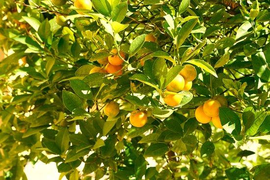 Kumquat Tree Foto Van Villa Juli Guesthouse Speracedes Tripadvisor