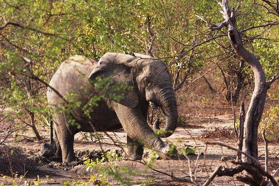 Mole National Park, Ghana: African elephant