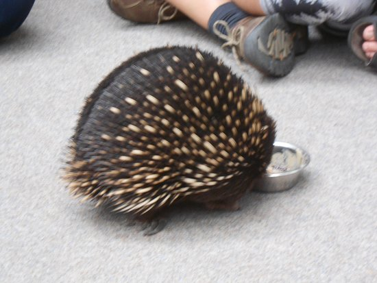 Beauty Point, Australien: Echidnas feeding at arms length