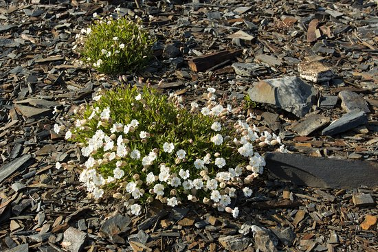 Murmansk Oblast, Russia: Просто цветы