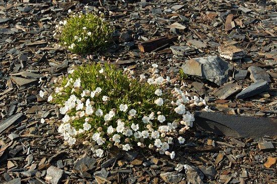 Murmansk Oblast, Russie : Просто цветы