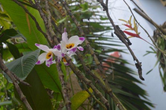 The Hoi An Orchid Garden Villas:  Dendrobium wardianum.