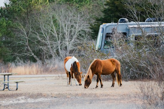 Not afraid of people picture of assateague island for Cabins near assateague island