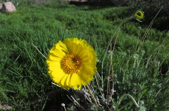 Apache Junction, AZ: Desert marigolds are one of many native plant species in the Park. Spring wildflowers are bloomi