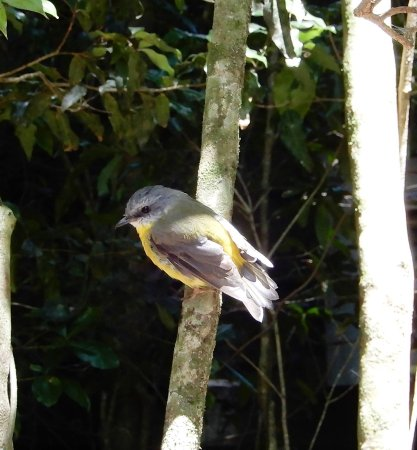 Lamington National Park, Australia: Easter robin