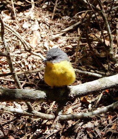 Lamington National Park, Australia: Cheeky robin