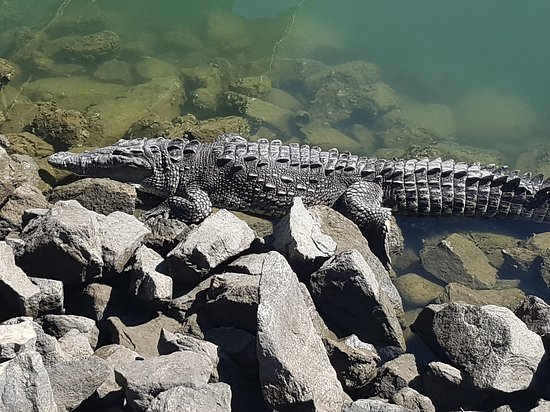 Vamar Vallarta All Inclusive Marina and Beach Resort: Crocodile in front of chappys
