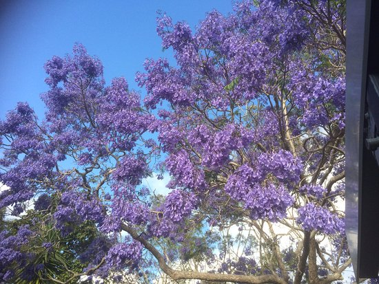 Herberton, Australia: Jacaranda Tree