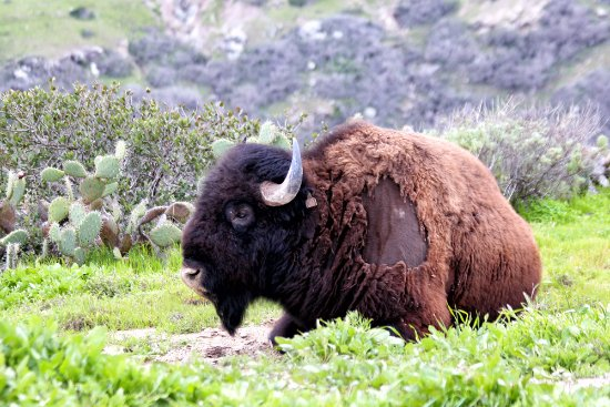 Journey Catalina : Bison!