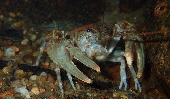 Rosman, Carolina del Norte: Big Water Crayfish (Cambarus robustus) in a cool mountain stream!