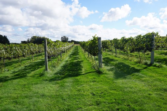 Ripon, WI: Five acres of grapes grown in the vineyard.