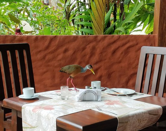 Casa Luna Hotel & Spa: A jacana came to sample leftovers