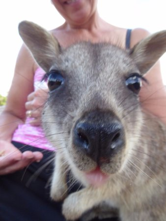 Granite Gorge Nature Park: Rock wallaby