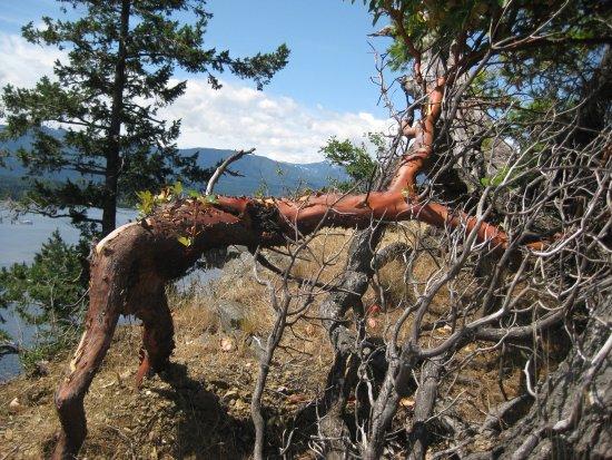 Denman Island, Canada: Arbutus tree.