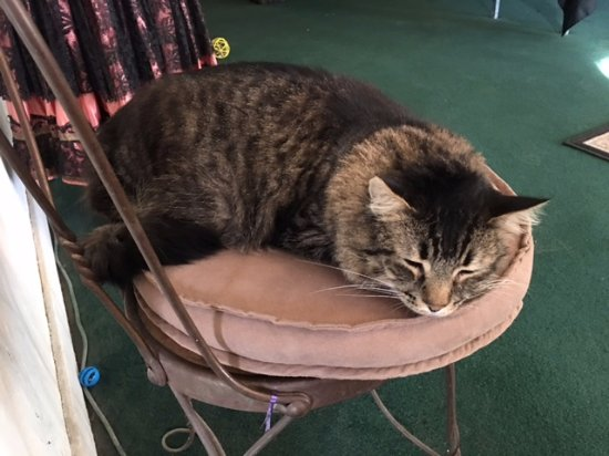 Amargosa Opera House and Hotel: Fat Cat keeping guard in the lobby