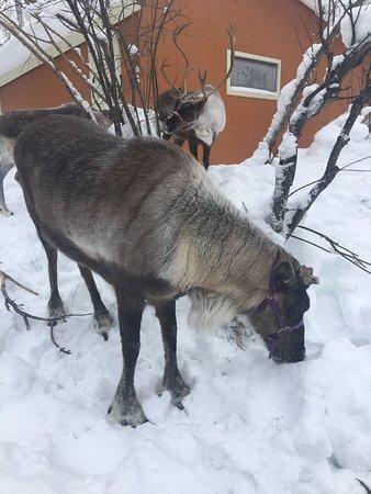 Running Reindeer Ranch : reindeer