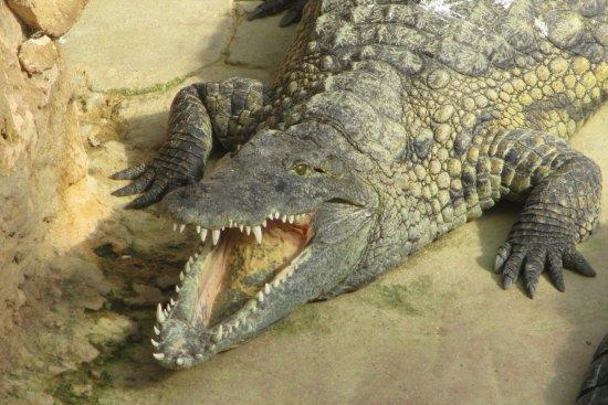 """Pierrelatte, Francia: Un exemple d'un beau """"spécimen"""", de magnifiques crocodiles à découvrir! Un lieu unique en Europe"""