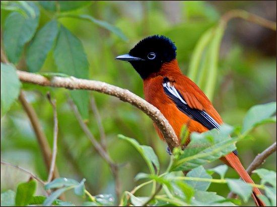 Gunjur, Gambia: African Paradise Flycatcher