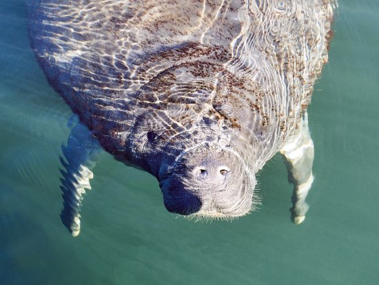Homosassa, FL: This manatee was super curious about my father with the camera. Pic: Ennio Fratini