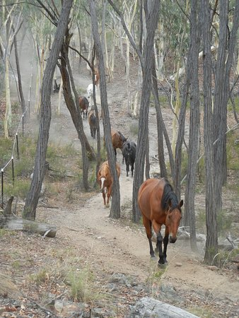 O'Connell, Australia: Horses morning Round-up
