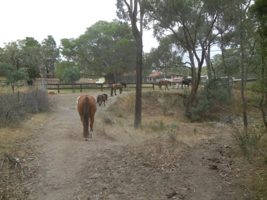 O'Connell, Australia: Horses Coming in for a Day of Riding