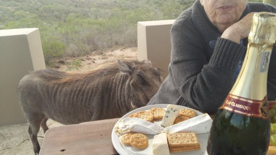 Nyaru Private Game Lodge: An unexpected dinner guest, Baps, the resident warthog.