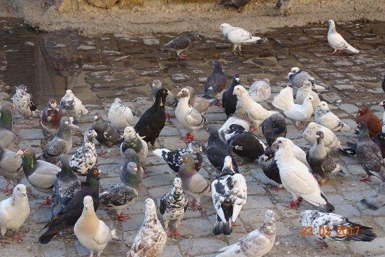 Провинция Шанлыурфа, Турция: Şanlıurfa Güvercinleri