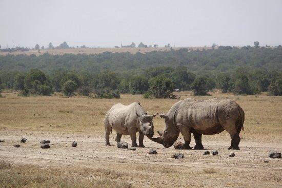 Porini Rhino Camp: Een zwarte rhino (links) en een witte rhino. Uitzonderlijk om die samen op een foto te hebben