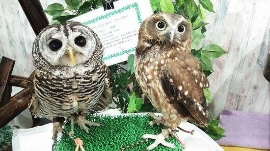 Owlpark Owl Cafe Ikebukuro tokyo: あうるぱーくフクロウカフェ池袋のくりくり目目コンビ