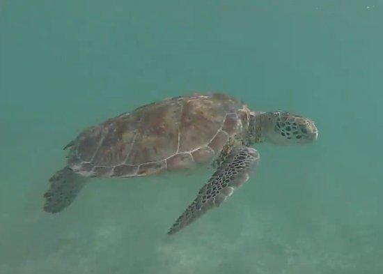 Akumal Beach: L'une des nombreuses tortues présente dans l'eau d'Akumal