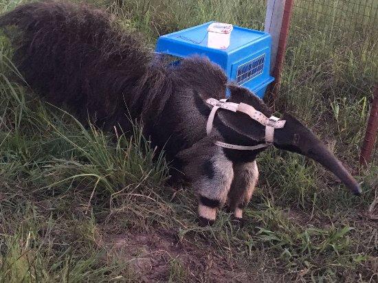 Rincon del Socorro: Auswilderung Giant Anteater (mit Sender) im Feb 2017