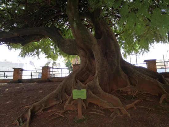 Bosque dos Buritis: foto de un gran arbol