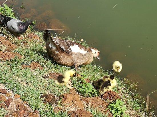 Bosque dos Buritis: una pata y sus pollitos