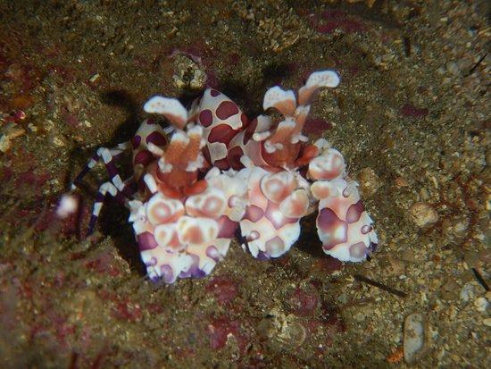 Seahorse Diving Tamarindo:  2 Shrimps