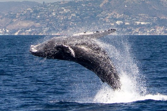 Capt. Dave's Dolphin & Whale Watching Safari: Humpback Whale breaching, photographed July 2016