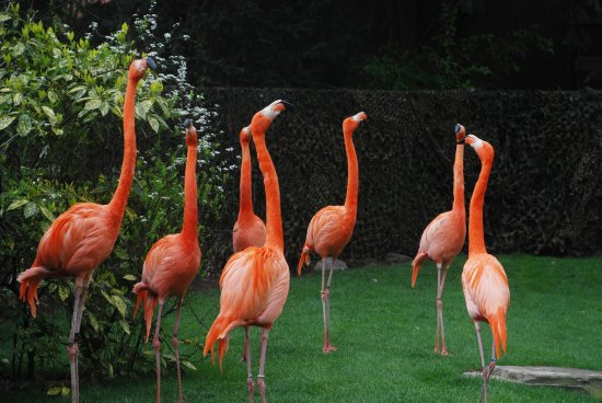 Antwerp Zoo (Dierentuin) : Flamingos no zoo