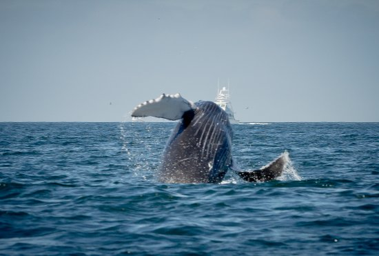 baby whale jumping picture of ocean friendly whale watching tours