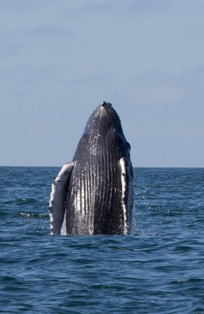 baby whale again picture of ocean friendly whale watching tours