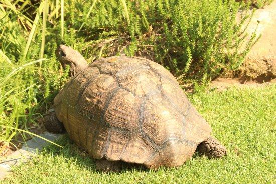 Vineyard Hotel: hotel tortoise
