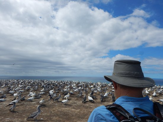 Hawke's Bay Region, New Zealand: Plateau Gannet colony