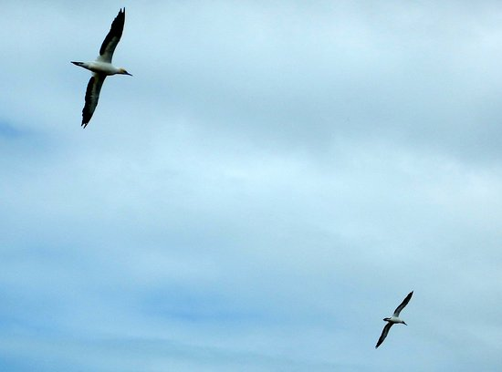 Gannet Colony: Gannets