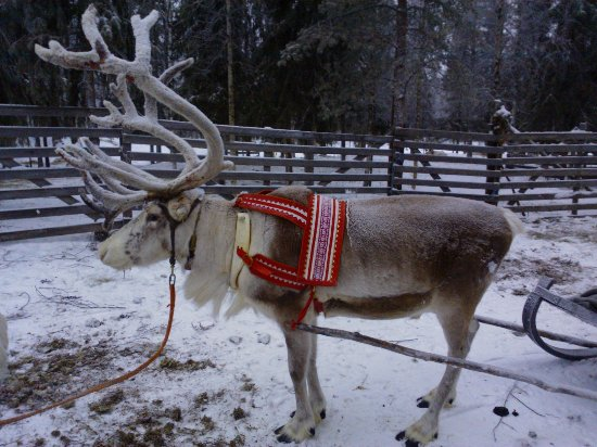 Kemijarvi, Finlandia: Poroajelu