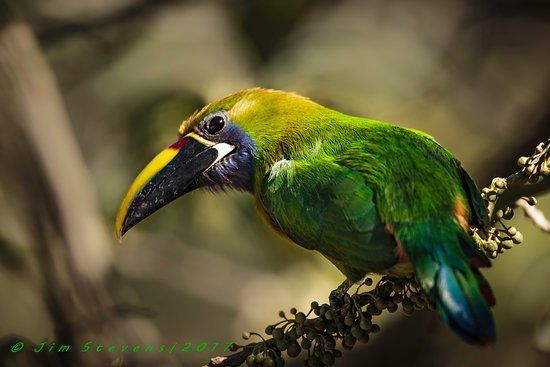 Forest Alive: Emerald Toucanet
