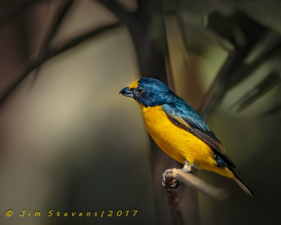 Forest Alive: Yellow-throated Euphonia