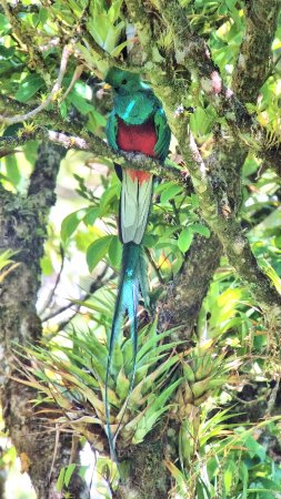 Forest Alive: Resplendent Quetzale at Curi-Canche Reserve, Monteverde, Costa Rica