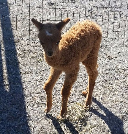 Mount Joy, PA: Baby alpaca <3