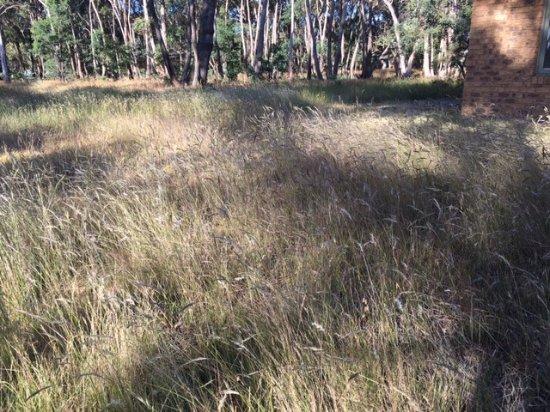 Kyneton, ออสเตรเลีย: Native grasses and wild flowers